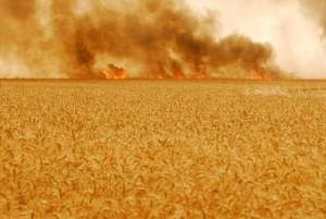 Incendie - champs de blé