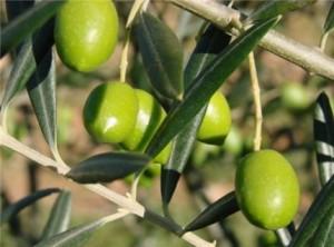 Huile d'olive - Tunisie
