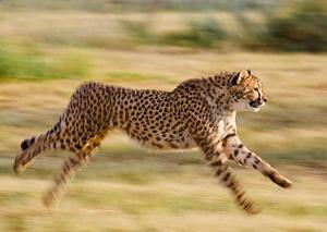Léopard - félin
