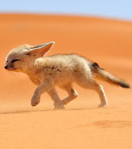 la-photo-d-un-adorable-fennec-proposee-lors-du-concours-national-geographic-traveler-photo-2013_127558_w460
