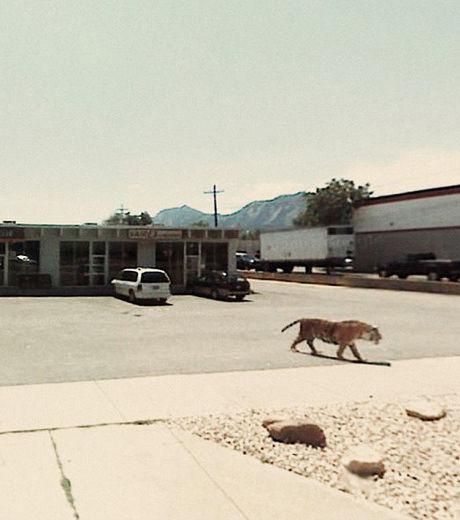 ce-tigre-qui-se-balade-sur-un-parking-est-dangereux-meme-pour-la-voiture-google-streetview_129630_w460
