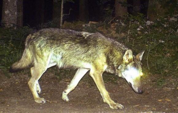Un loup dans le Jura