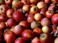 Les pommes n'ont plus tout à fait le même goût, tout ça à cause du réchauffement.