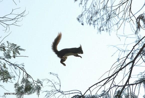 Ecureuil volant au Laos