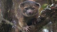 """Découverte d'un """"nouveau"""" mammifère carnivore : L'olinguito"""