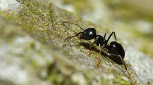 pilagens: ue espèce de fourmis Ninja