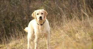 les chiens: de bons détecteurs de la prostate