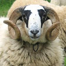 Aïd Al Idh'ha - Mouton